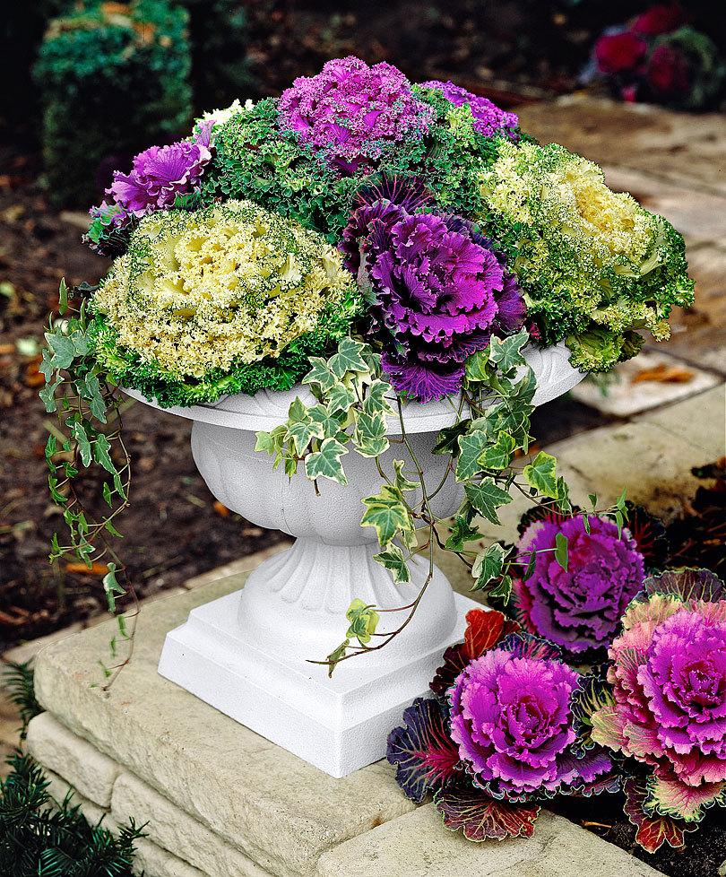 Les choux d ornement plante maison for Plante maison