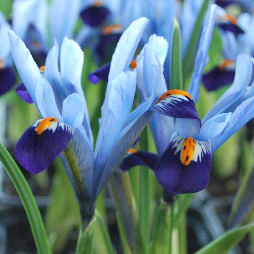 petits iris iris r ticul iris reticulata plante maison. Black Bedroom Furniture Sets. Home Design Ideas